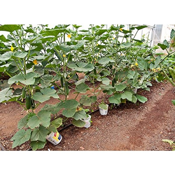 Harley Seeds Heirloom Seed 4 30+ Persian Beit Alpha (A.k.a. Lebanese) Cucumber Seeds Heirloom NON-GMO Crispy Fragrant From USA