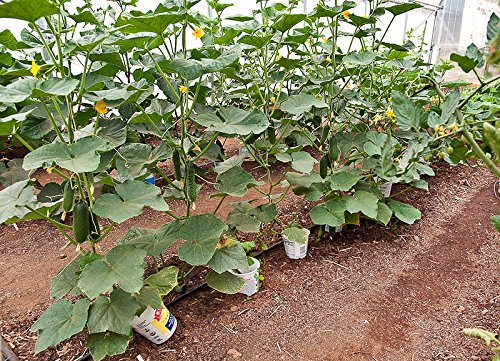 Harley Seeds  4 30+ Persian Beit Alpha (A.k.a. Lebanese) Cucumber Seeds Heirloom NON-GMO Crispy Fragrant From USA