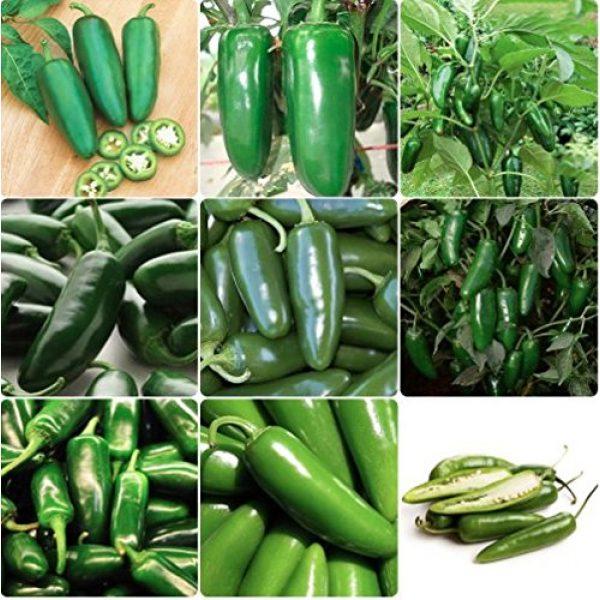 Isla's Garden Seeds Heirloom Seed 2 Jalepeno Tam Hot Peppers Seeds, 150+ Premium Heirloom Seeds!, 99.7% Purity, ON Sale!, (Isla's Garden Seeds), Non GMO Survival Seeds,Highest Quality!