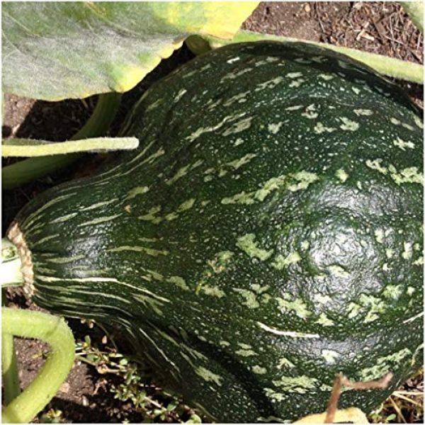 Isla's Garden Seeds Heirloom Seed 1 Gourd Squash Seeds (True Green Improved Hubbard), 25+ Premium Heirloom Seeds, Cucurbita Pepo, Giant Gourd Squash, (Isla's Garden Seeds), 99% Purity, 90% Germination, Non GMO, Highest Quality