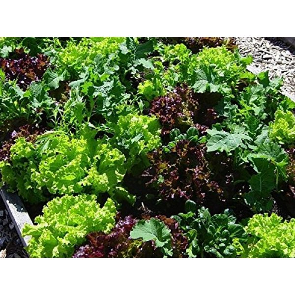 Dirt Goddess Super Seeds Organic Seed 4 Bulk Organic Mesclun Mix Seeds (1 LB) 425,000 Seeds
