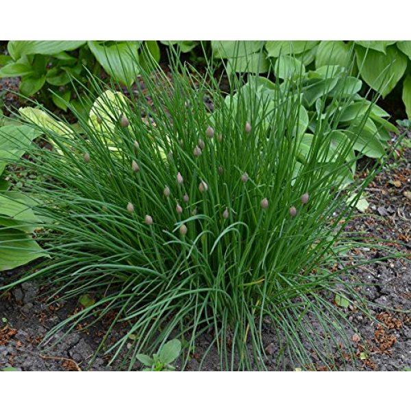 Fertile Ukraine Seeds Heirloom Seed 7 Seeds Chives Onion Green Vegetable Heirloom Ukraine