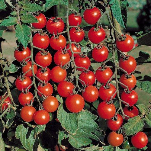 Fertile Ukraine Seeds  2 Seeds Cherry Tomato Red Early Vegetable Heirloom Ukraine