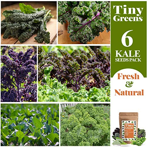Tiny Greens  2 Grow Kale Seeds 6 Collection Pack for Planting(600 Seeds) Lacinato Kale Seeds