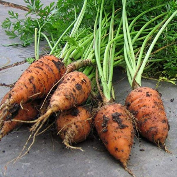 Isla's Garden Seeds Heirloom Seed 3 Red Cored Chantenay Carrot Seeds, 1000+ Premium Heirloom Seeds, Gardeners Choice!, (Isla's Garden Seeds), 85-90% Germination Rates, Non GMO, Highest Quality.