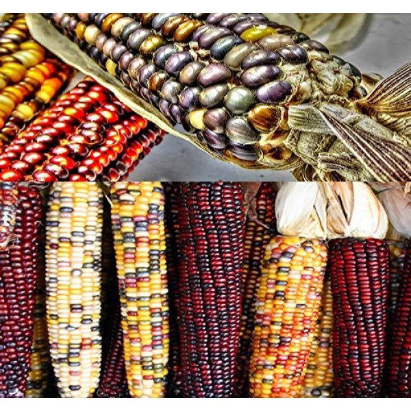 MySeeds.Co - VEGETABLE Seeds by the LB Heirloom Seed 1 1 lb (1,600+ Seeds) Indian Corn Seed - Oldest Varieties of Heirloom Corns - Non-GMO Seeds by MySeeds.Co (1 lb Indian Corn Mix)