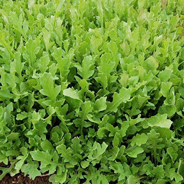 Seedz Organic Seed 2 Organic ARUGULA Seeds (APPR. 1,100) Surrey Arugula - Heirloom Vegetable Seeds - Certified Organic, Non-GMO, Non Hybrid -USA