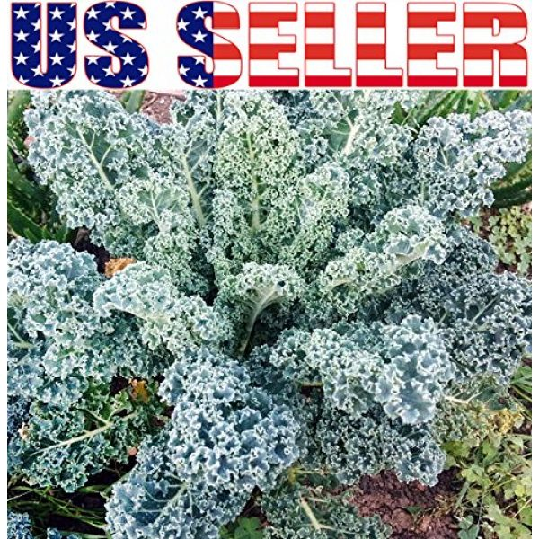 Harley Seeds Heirloom Seed 4 HARLEY SEEDS 1000+ Kale Mixed Seeds Please Read! This is a Mix!!! Dwarf Blue Curled, Lacinato Dinosaur, Siberian Dwarf, Russian Red, Heirloom Non-GMO USA Grown